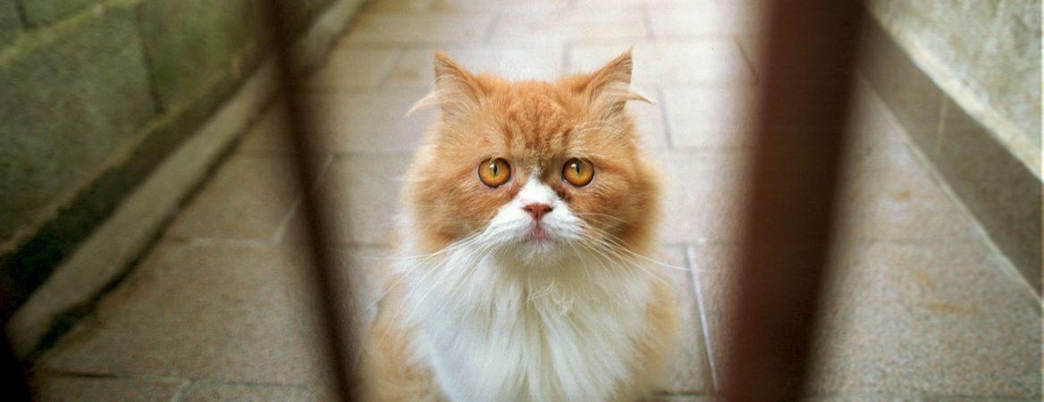 Entre grades cinzas, um gato com pelos brancos e alaranjados olha para a câmera.